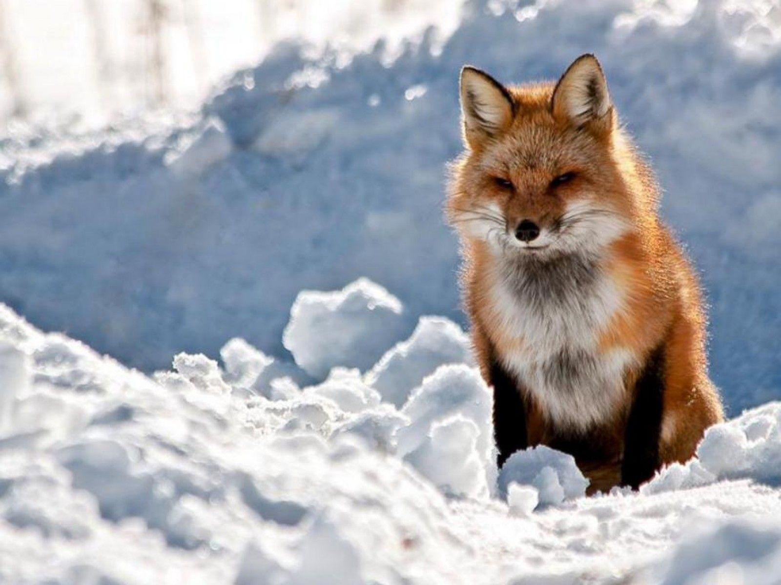 THE RED FOX Wallpapers