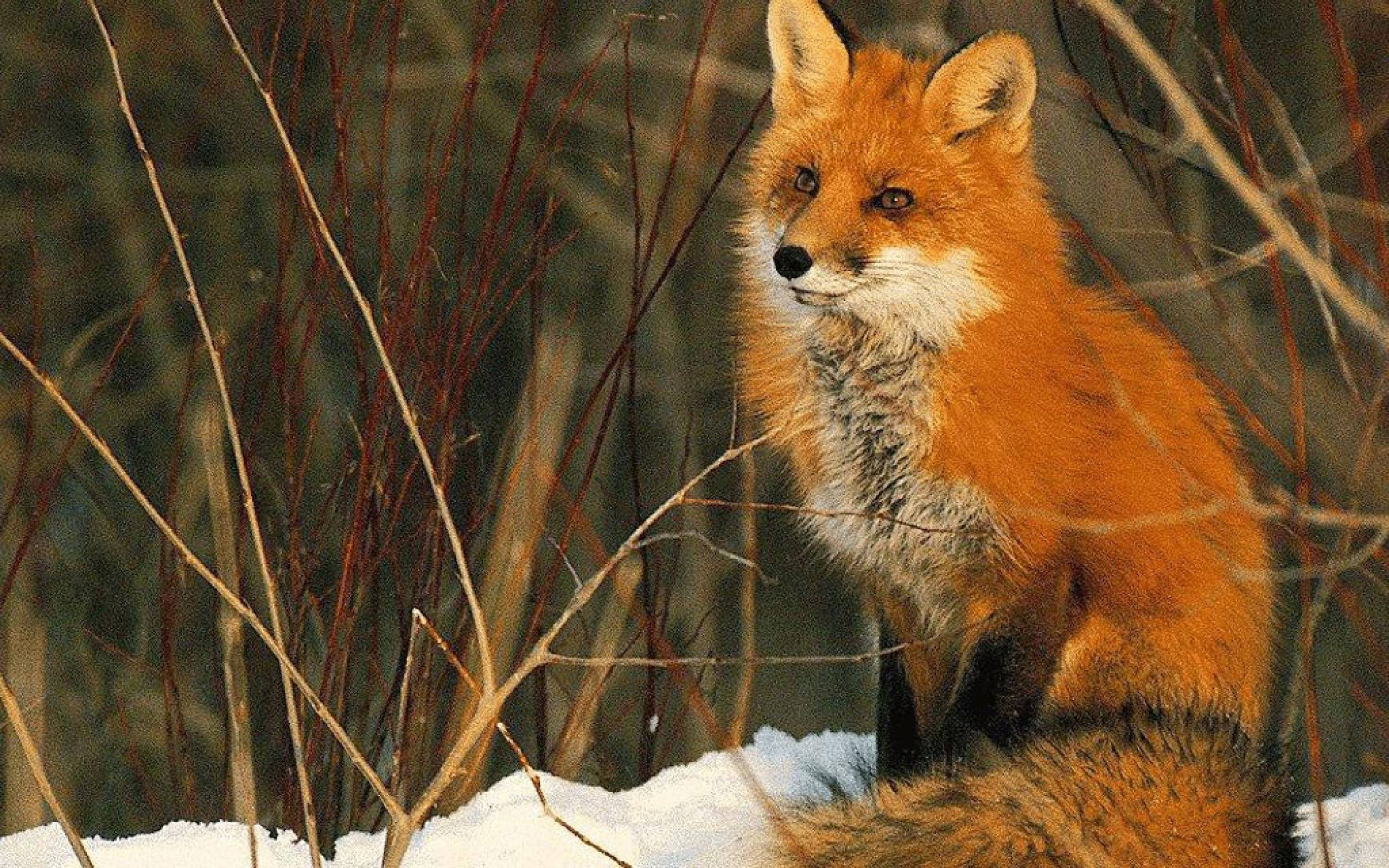 Beautiful red fox Wallpapers