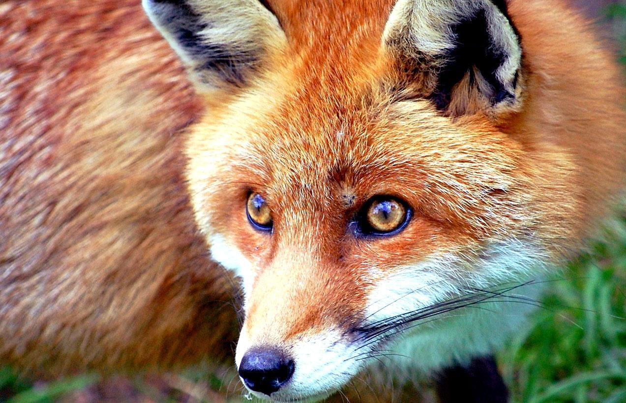 Red fox picture free desktop backgrounds