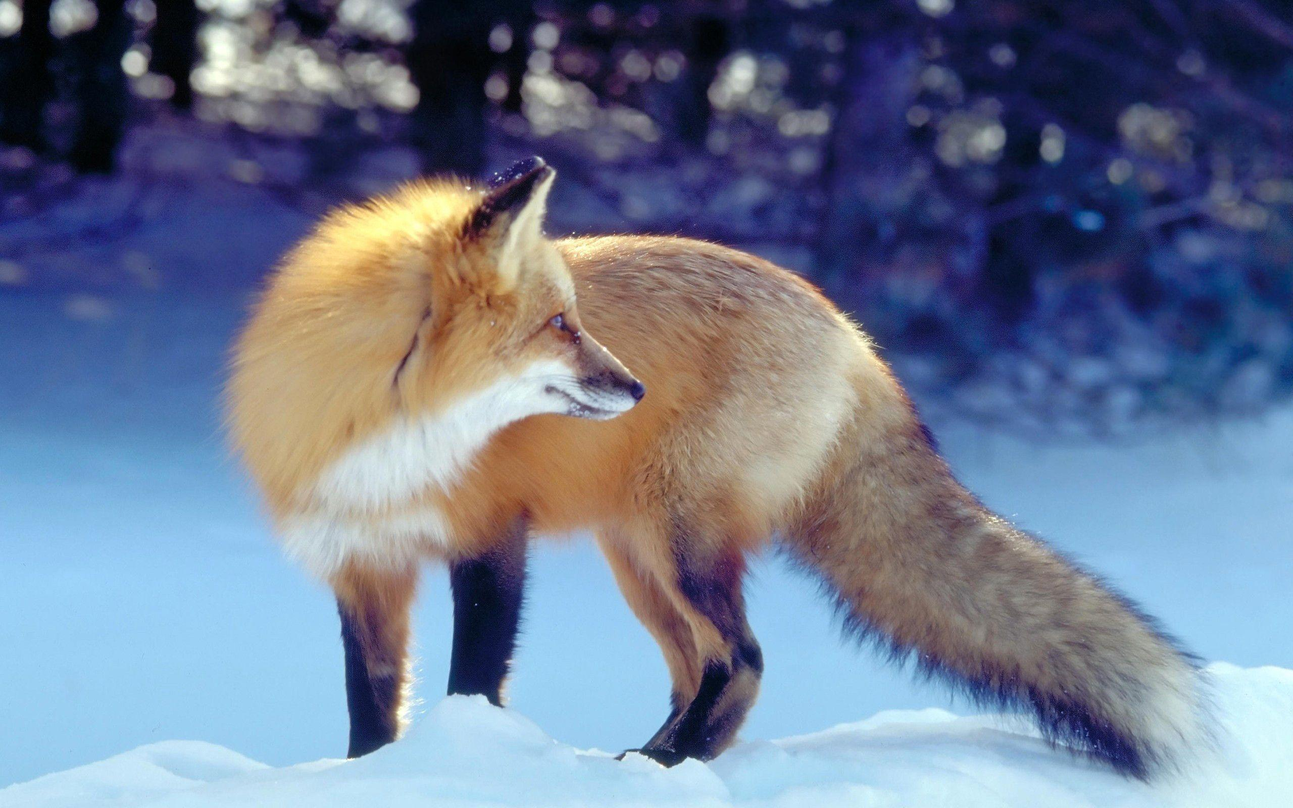 Red Fox in Snow Wallpapers
