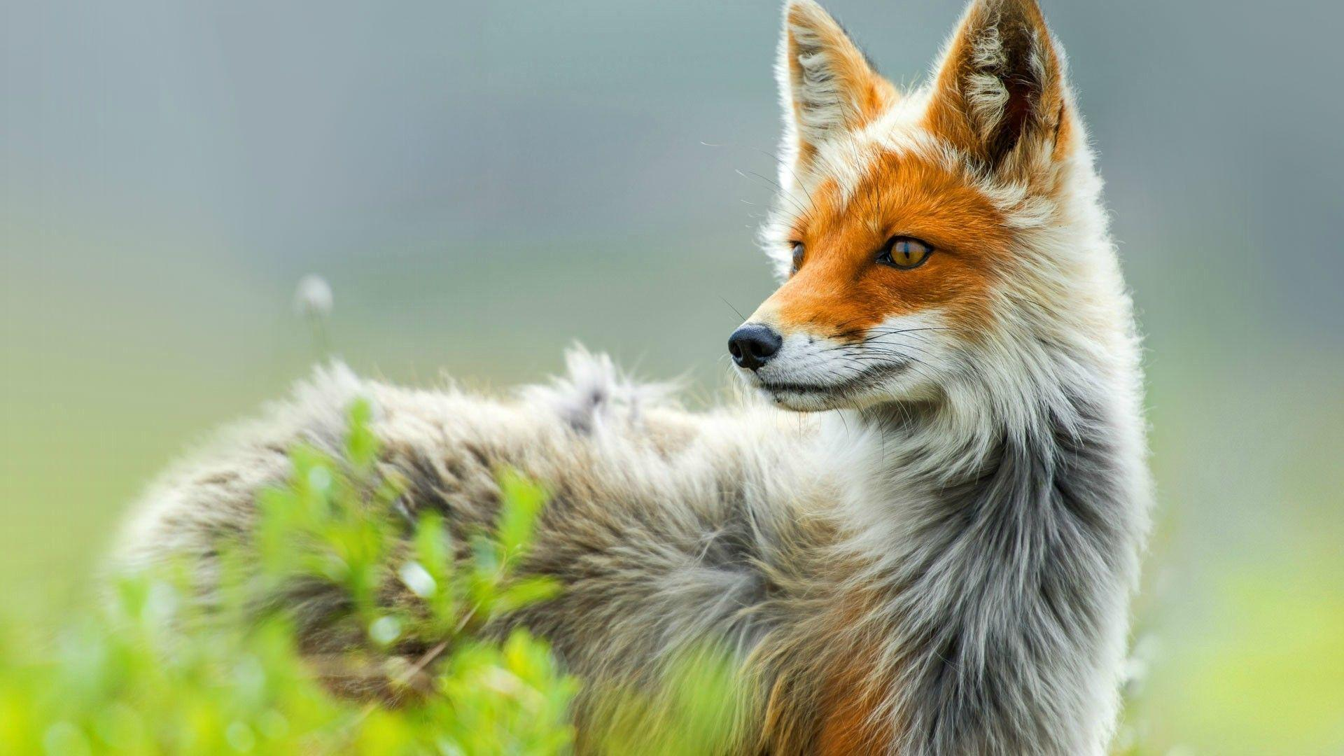 Red fox in Chukotka, Russia