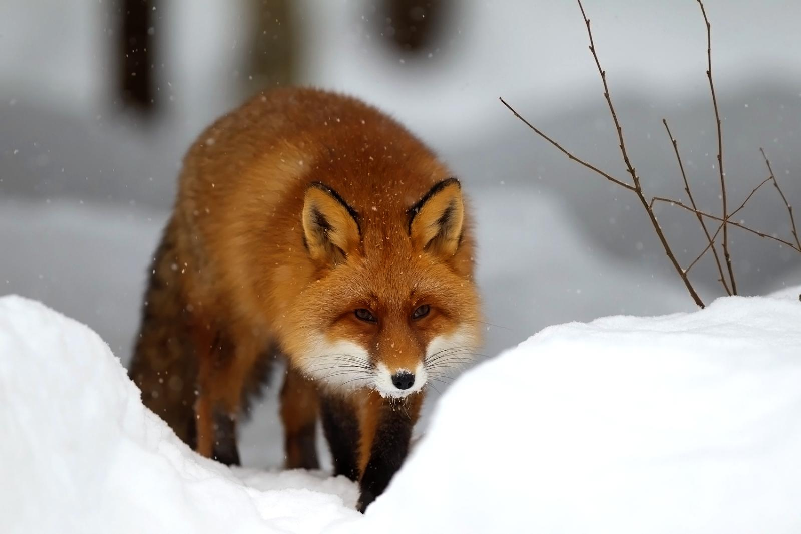 Winter Snow Red Fox Wallpapers