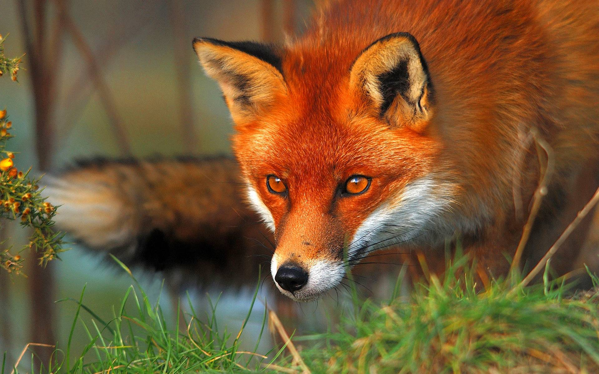 Red fox eyes Wallpapers