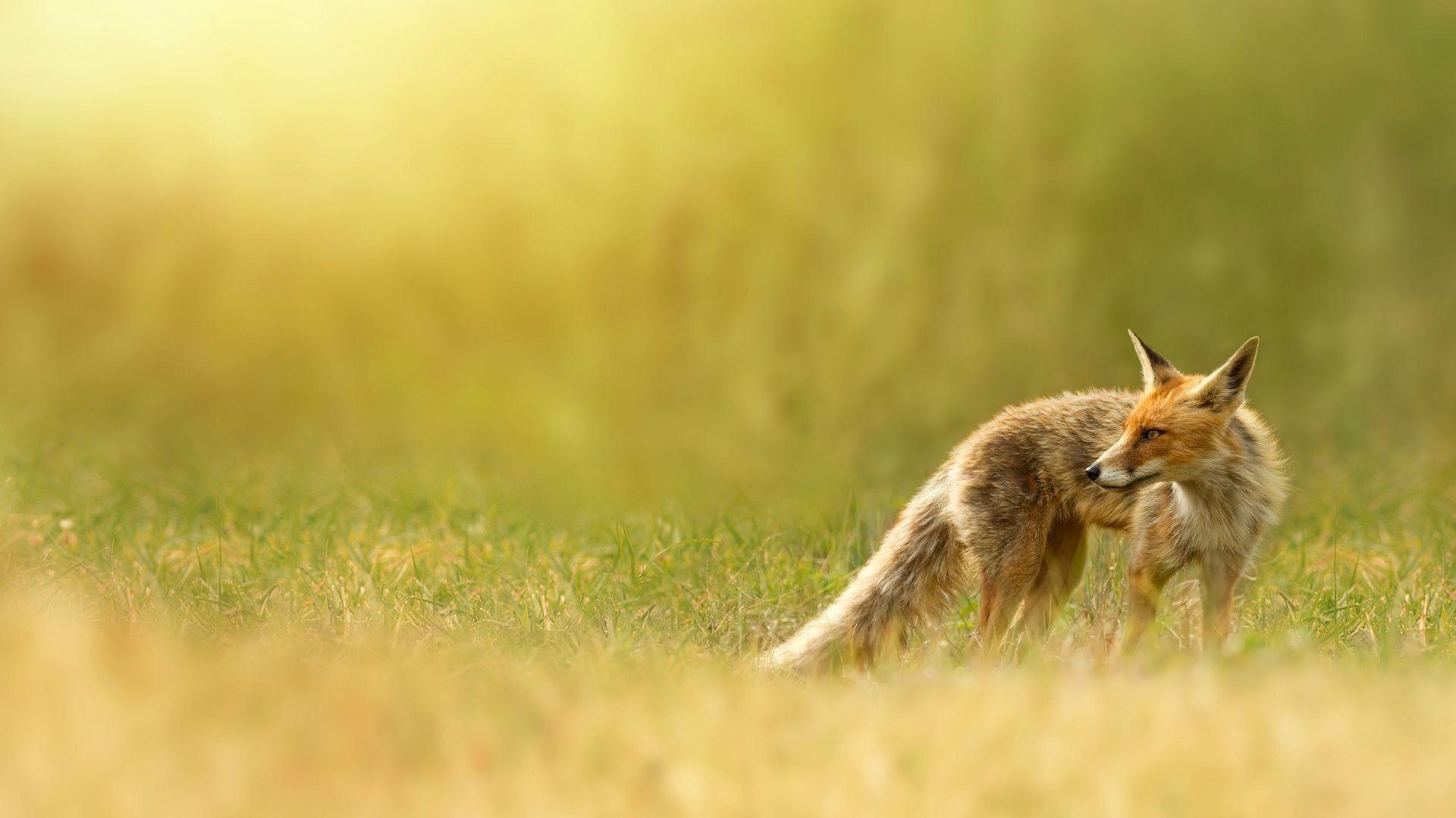 fox wallpapers, red fox, red, nature, grass
