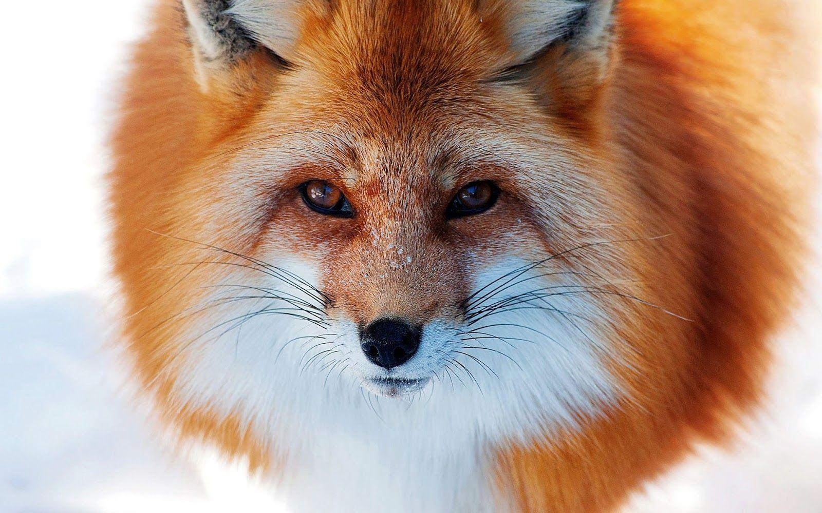 Close up photo of a red fox