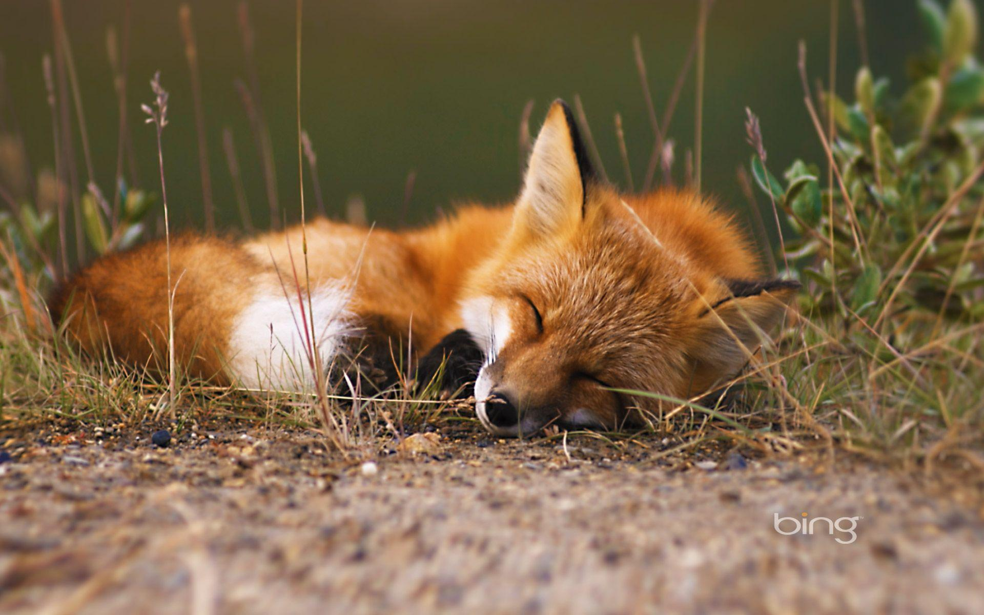 Wallpapers For > Baby Red Fox Wallpapers