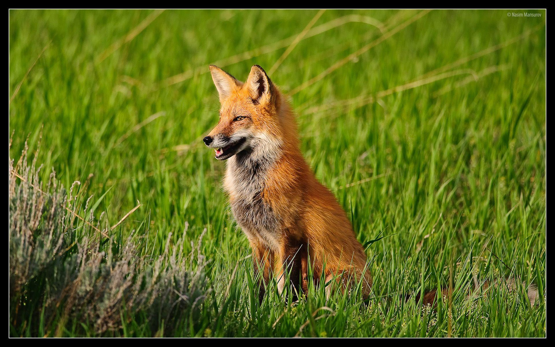 Animals For > Cute Red Fox Wallpapers