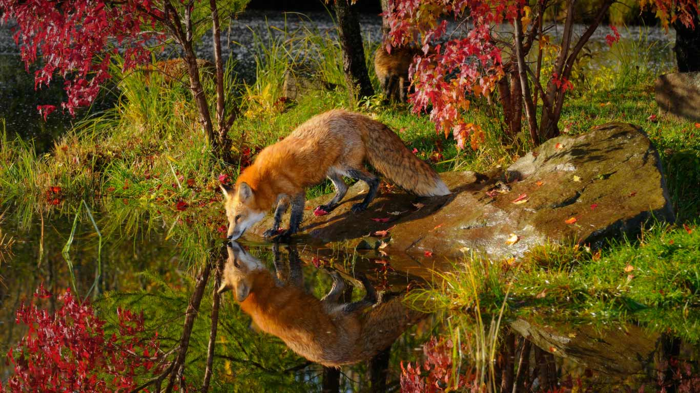 Wallpapers For > Red Fox Wallpapers National Geographic