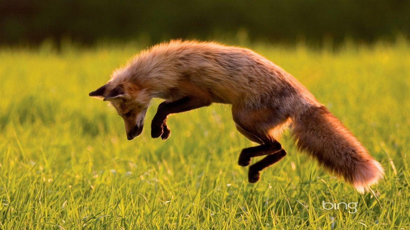 Canadian Red Fox