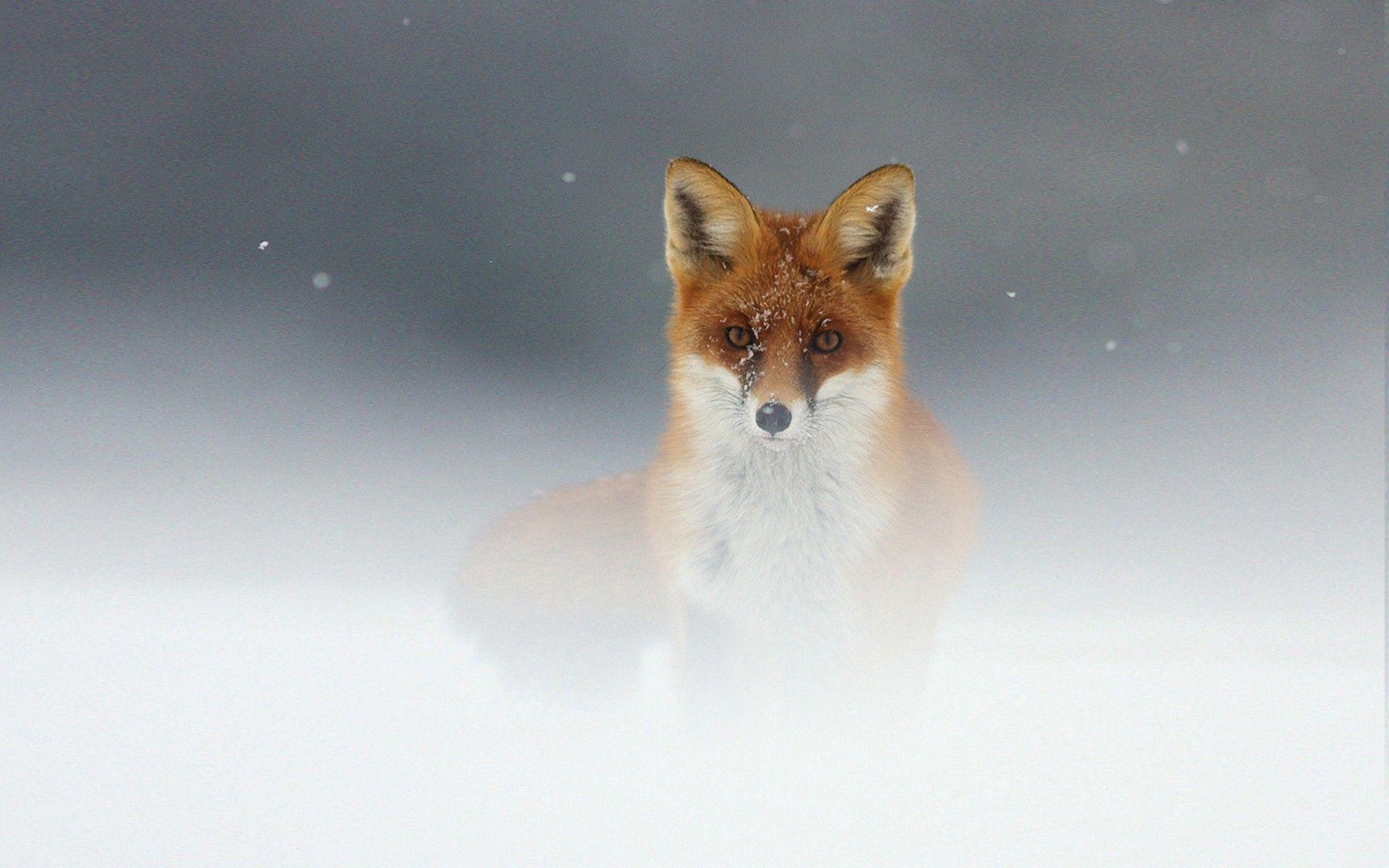 Most Downloaded Fox Animal Wallpapers