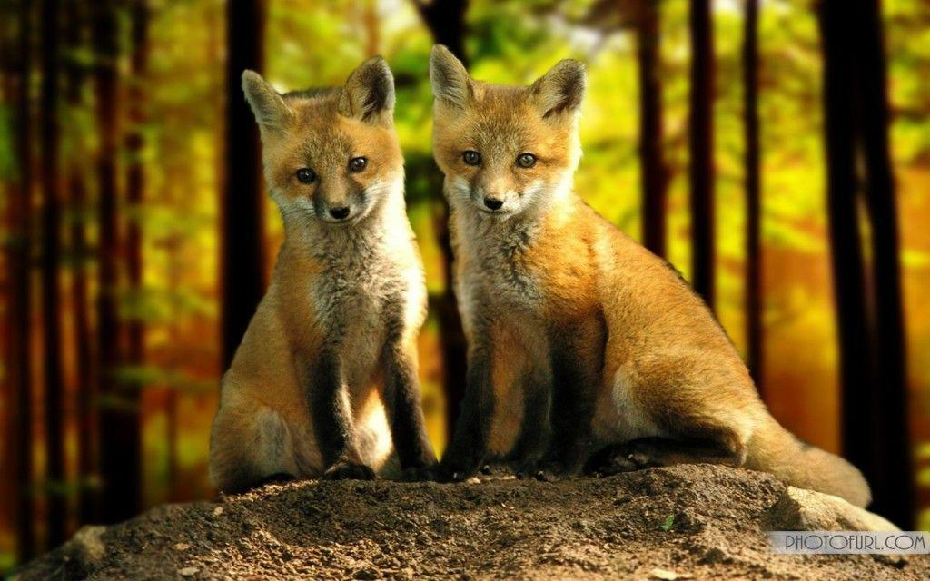 Pix For > Cute Baby Fox Wallpapers