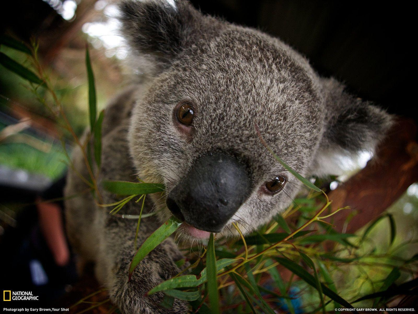 Koala Picture – Animal Wallpaper - National Geographic Photo of ...