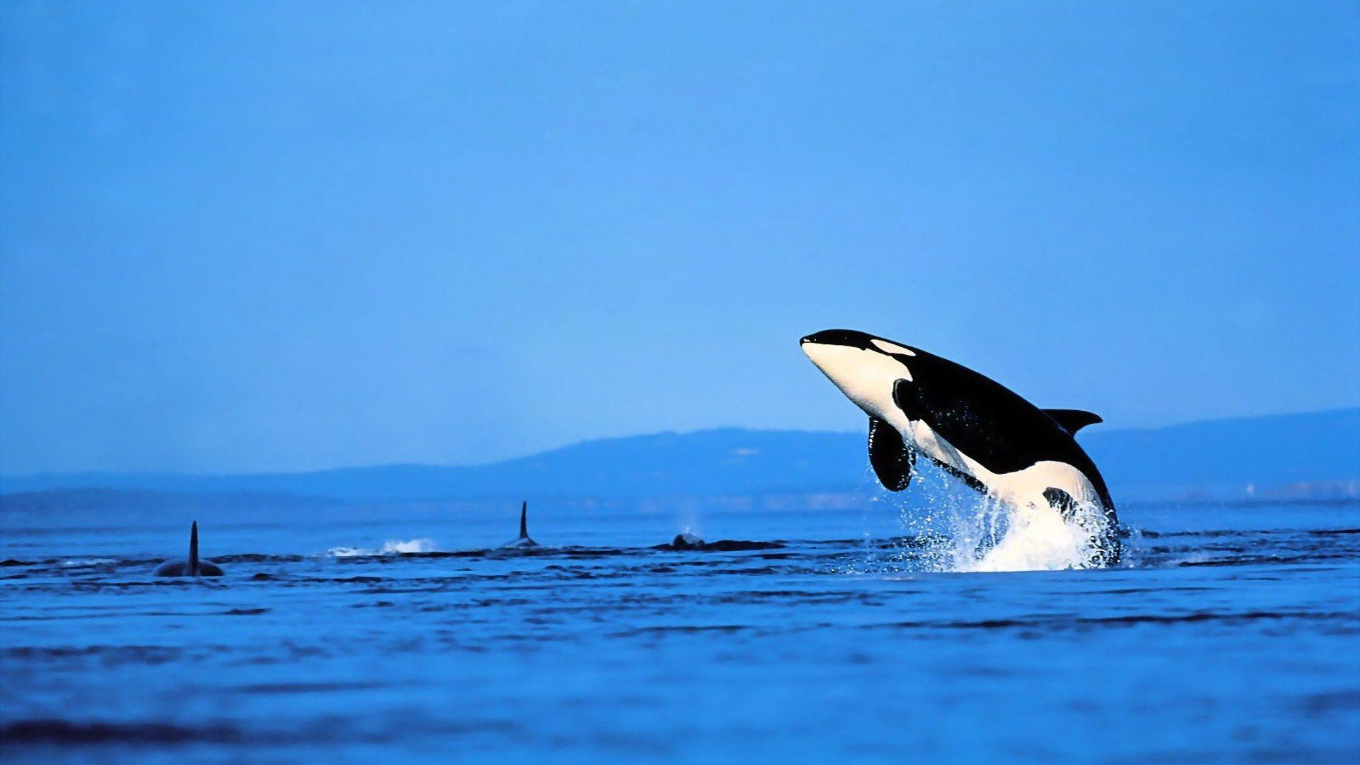 8 Orca Wallpapers