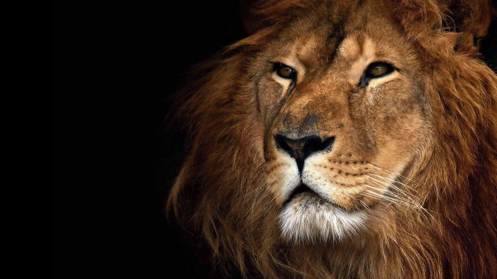 Lion Wallpapers And Backgrounds | HD Wallpapers