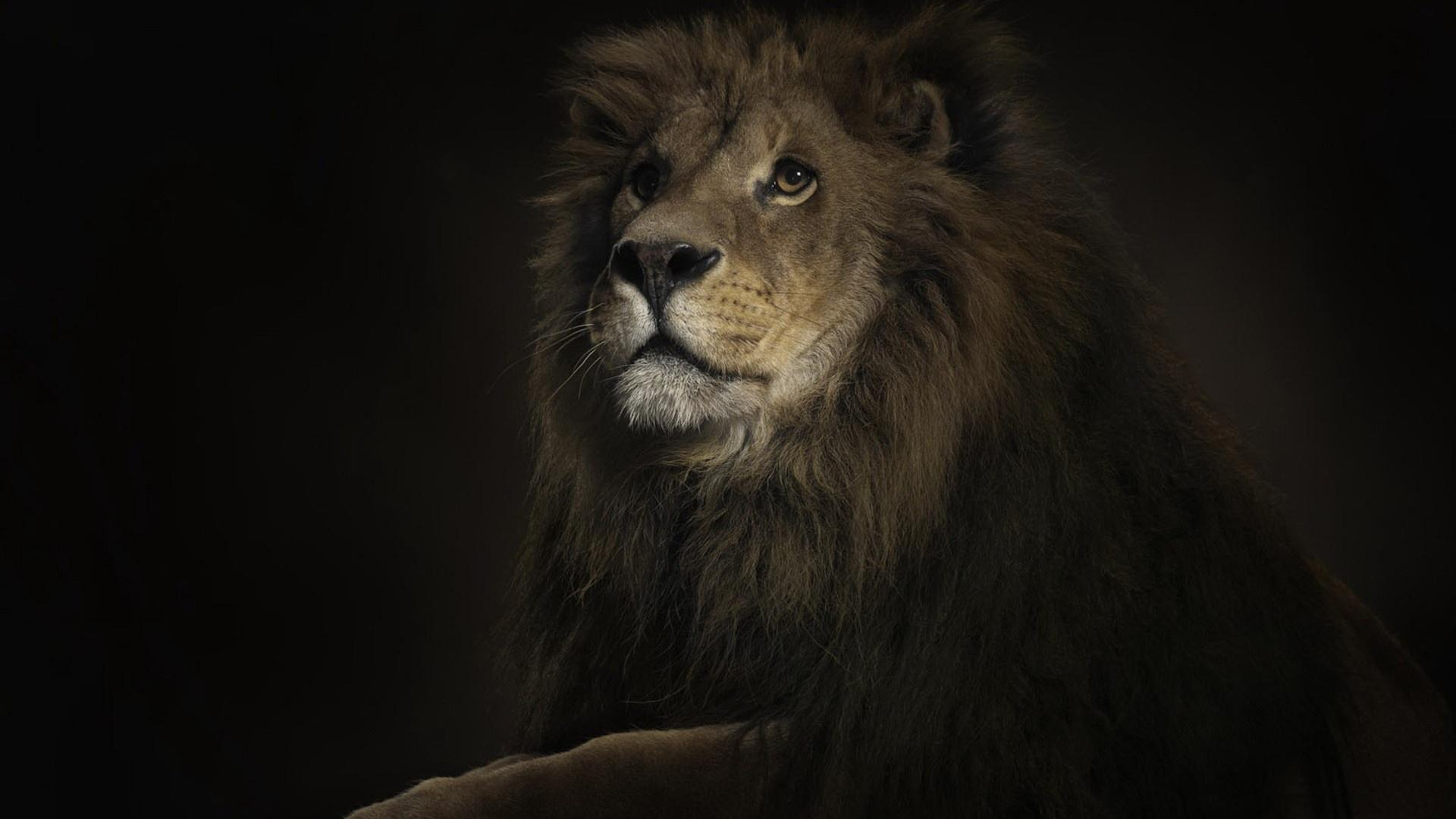 788 Lion Wallpapers | Lion Backgrounds