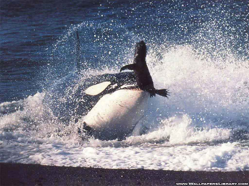 Wallpapers Orca Free