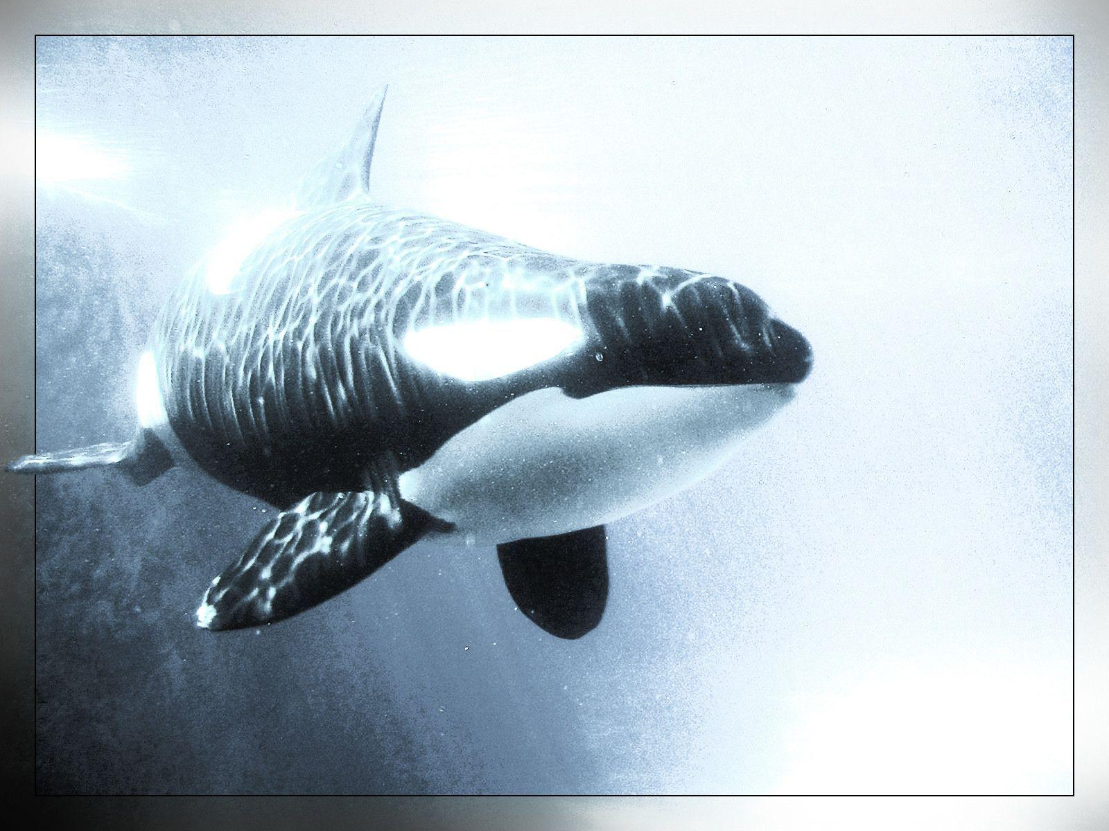 shamu&Whales Killer Animals Orca wallpapers #