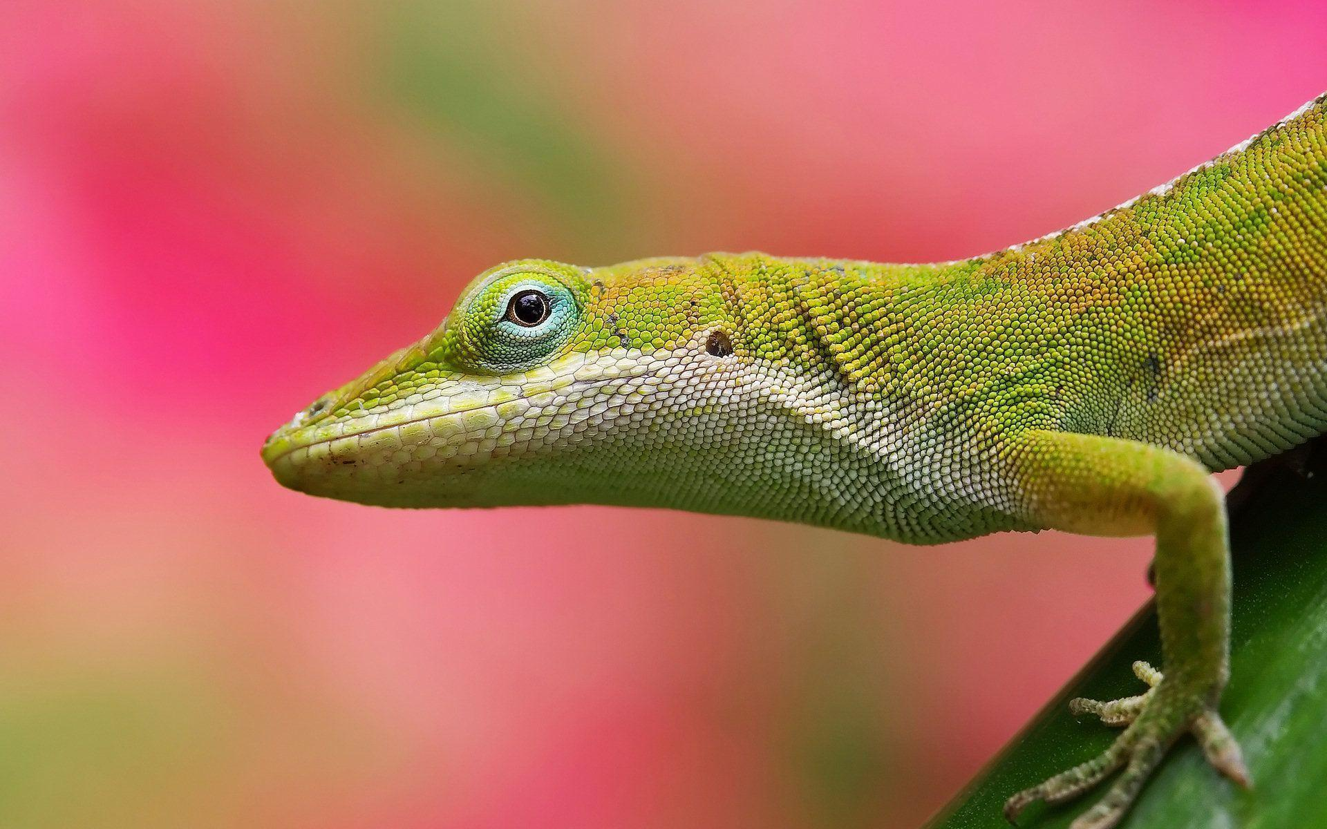 Colorful Lizard Pink Backgrounds