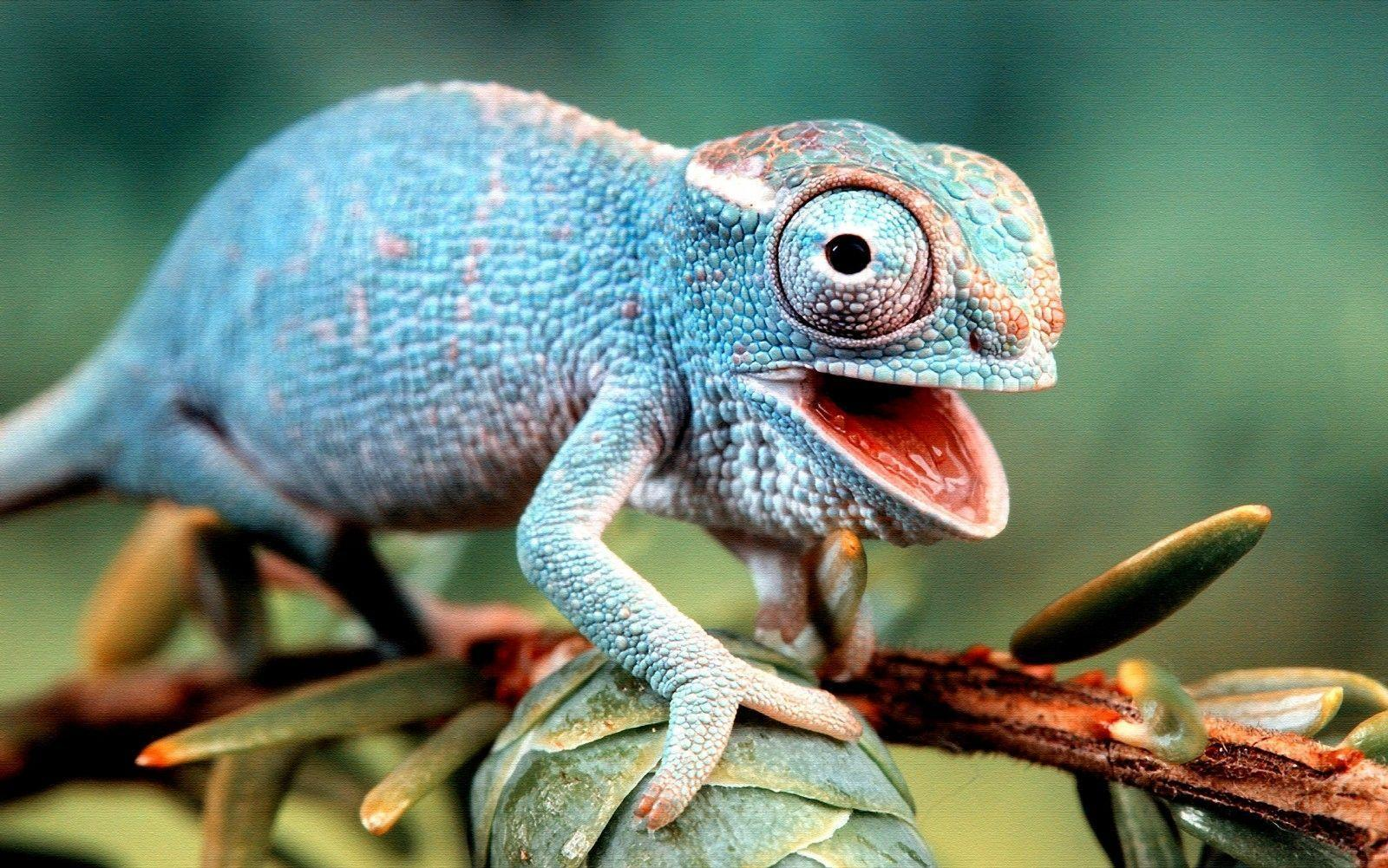 Download Colorful Lizard Wallpapers 21416 1600x1001 px High