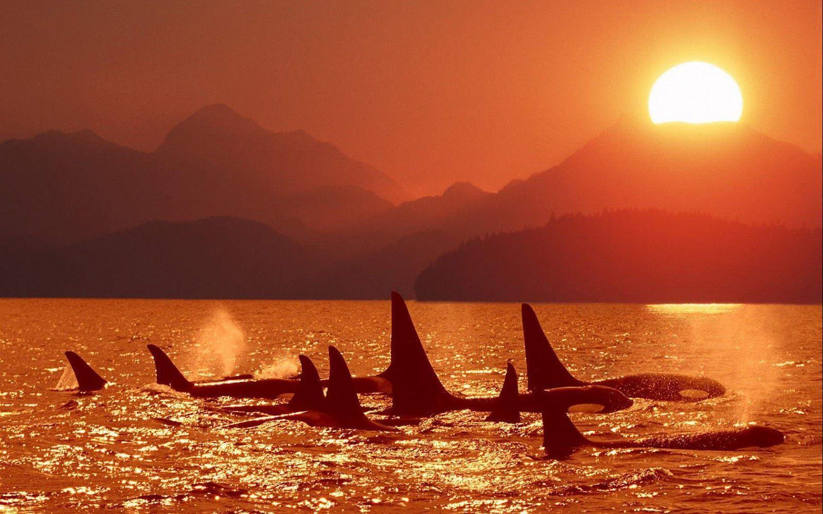 Killer Whales Wallpapers Image & Pictures