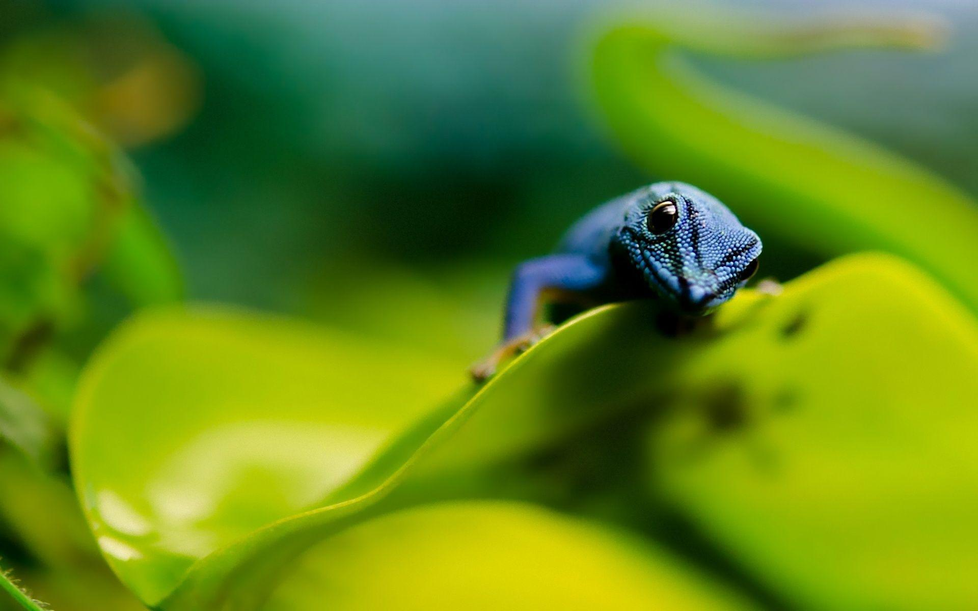 Colorful Blue Lizard Wallpapers