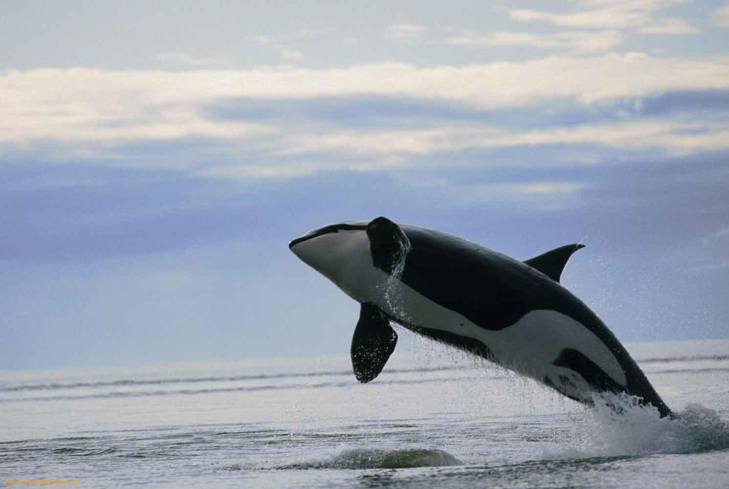 Orca Hd Wallpapers