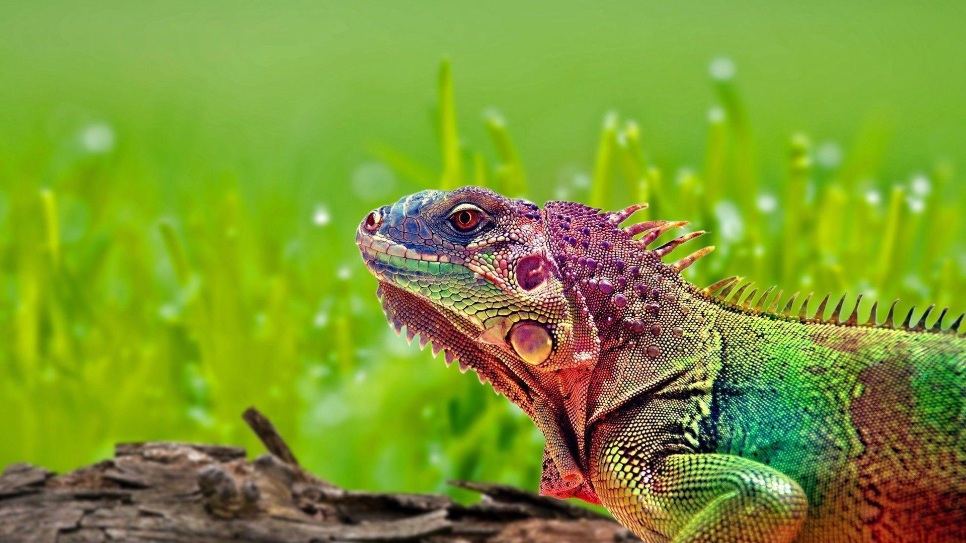Colorful Lizard Wallpapers 15386 1920x1080 px