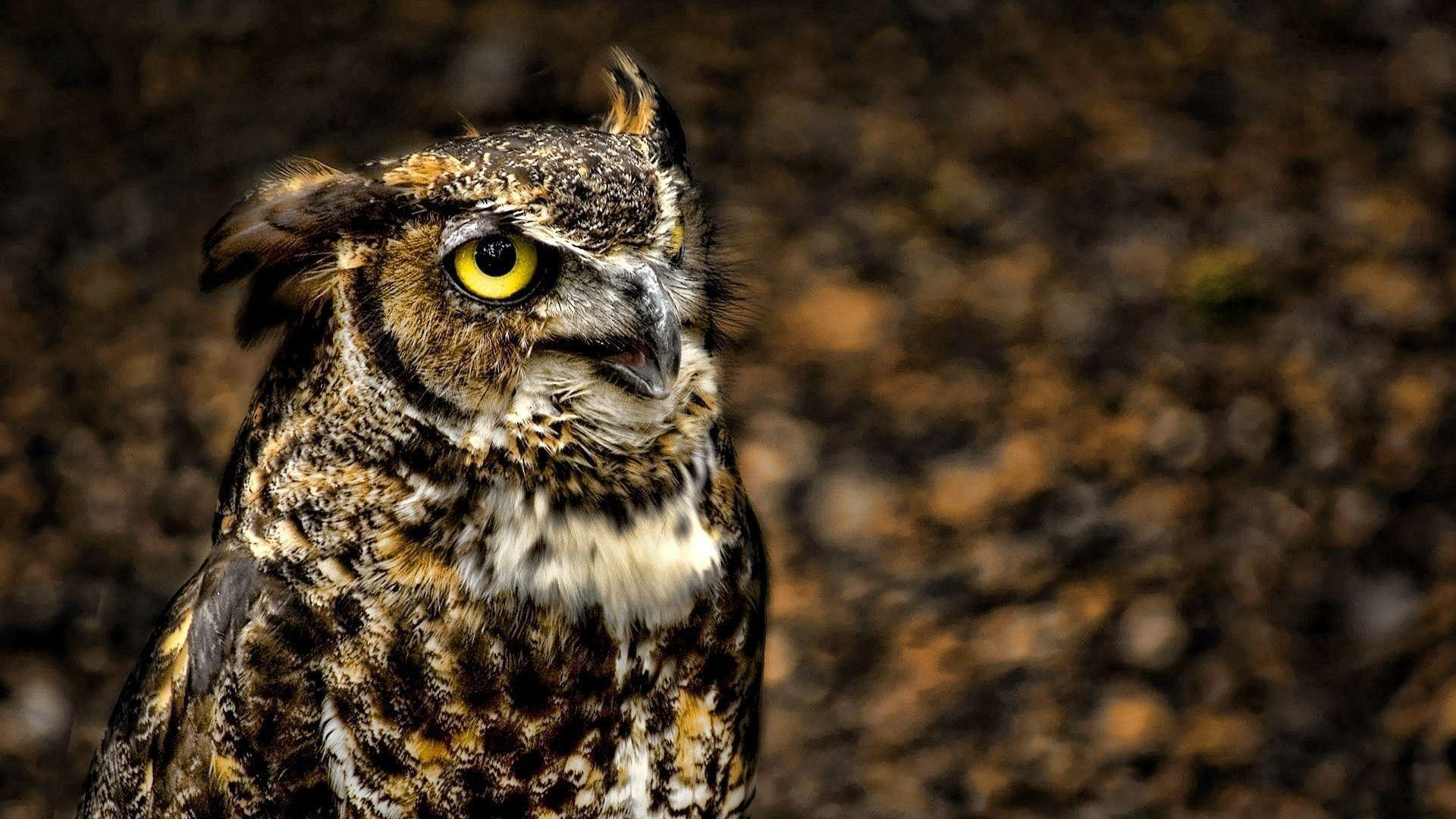 612 Owl Wallpapers | Owl Backgrounds Page 12