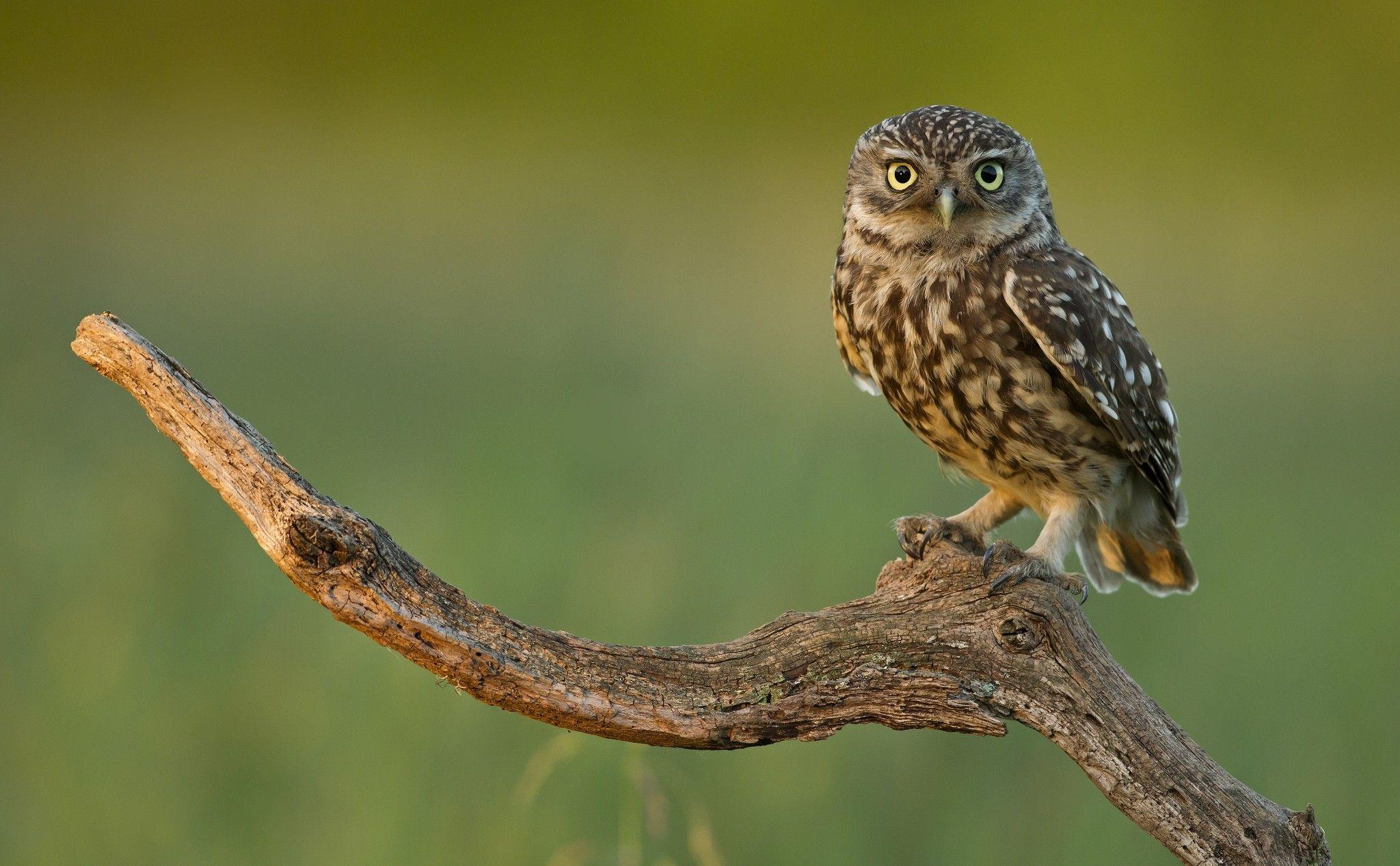 612 Owl Wallpapers | Owl Backgrounds
