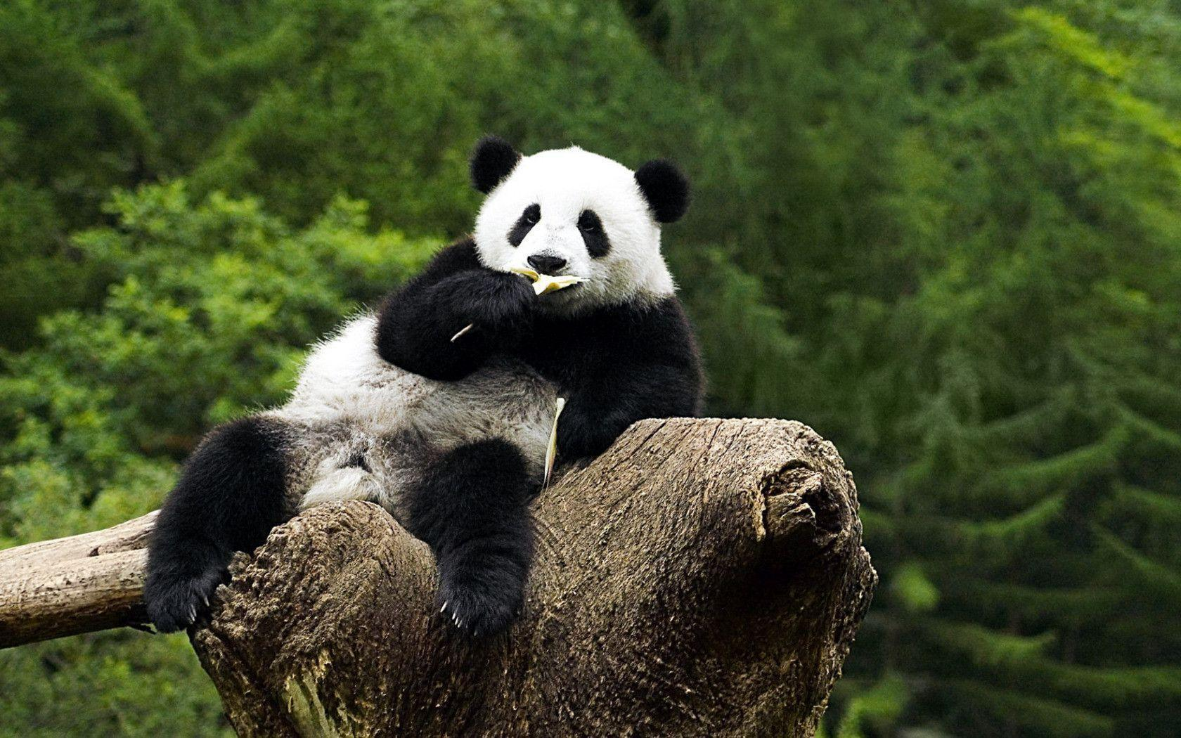 Panda Bear Wallpaper Images & Pictures - Becuo