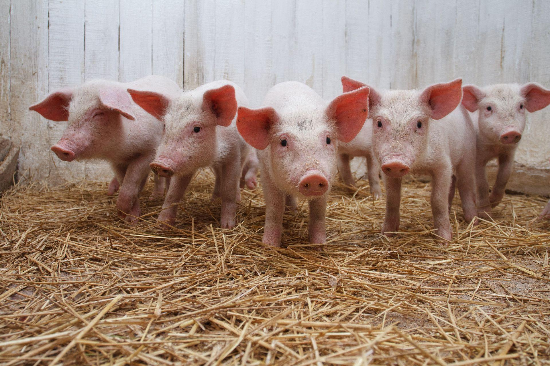 24 Pig Wallpapers | Pig Backgrounds