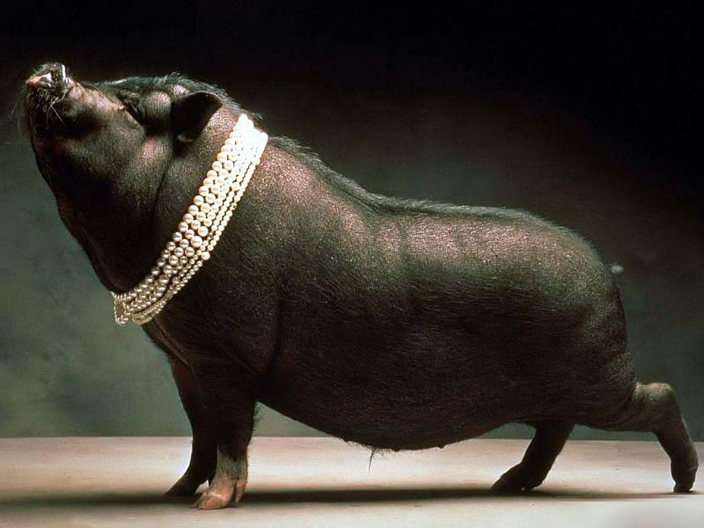 Pigs Wallpapers - Barbaras HD Wallpapers