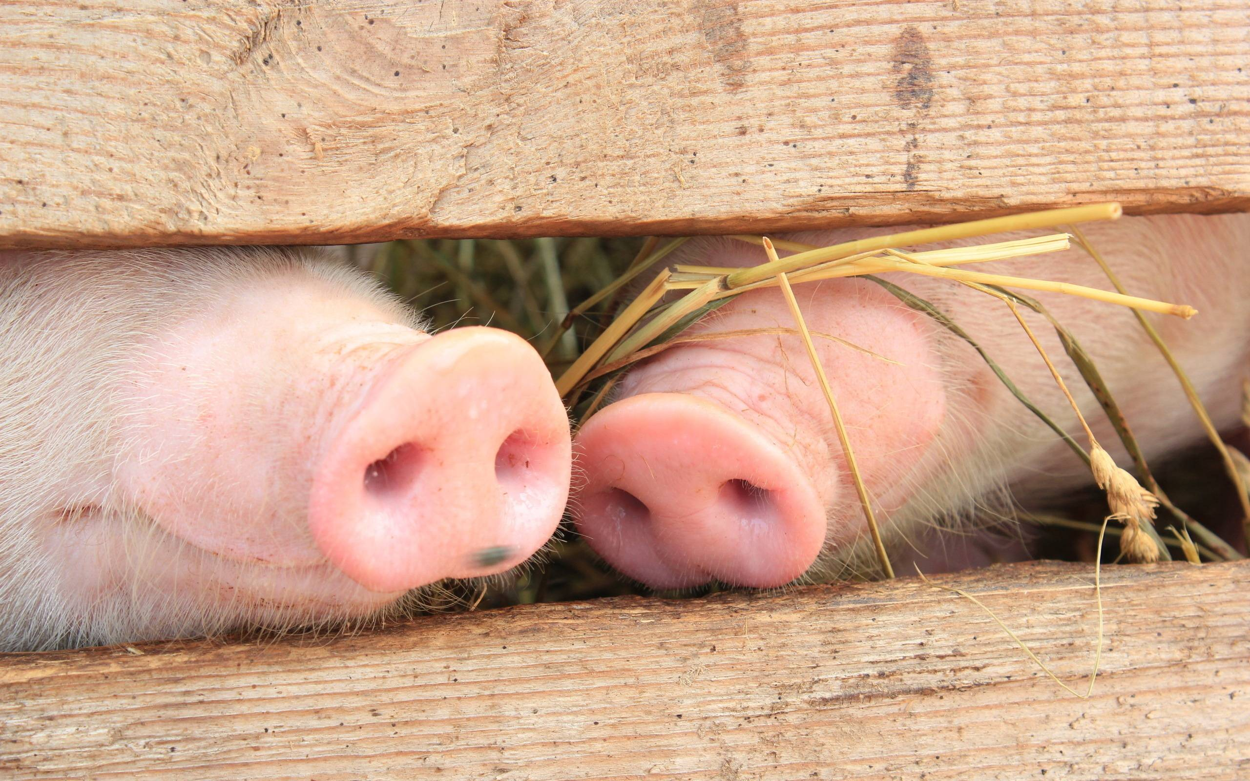 Pig heels wallpapers and images - wallpapers, pictures, photos