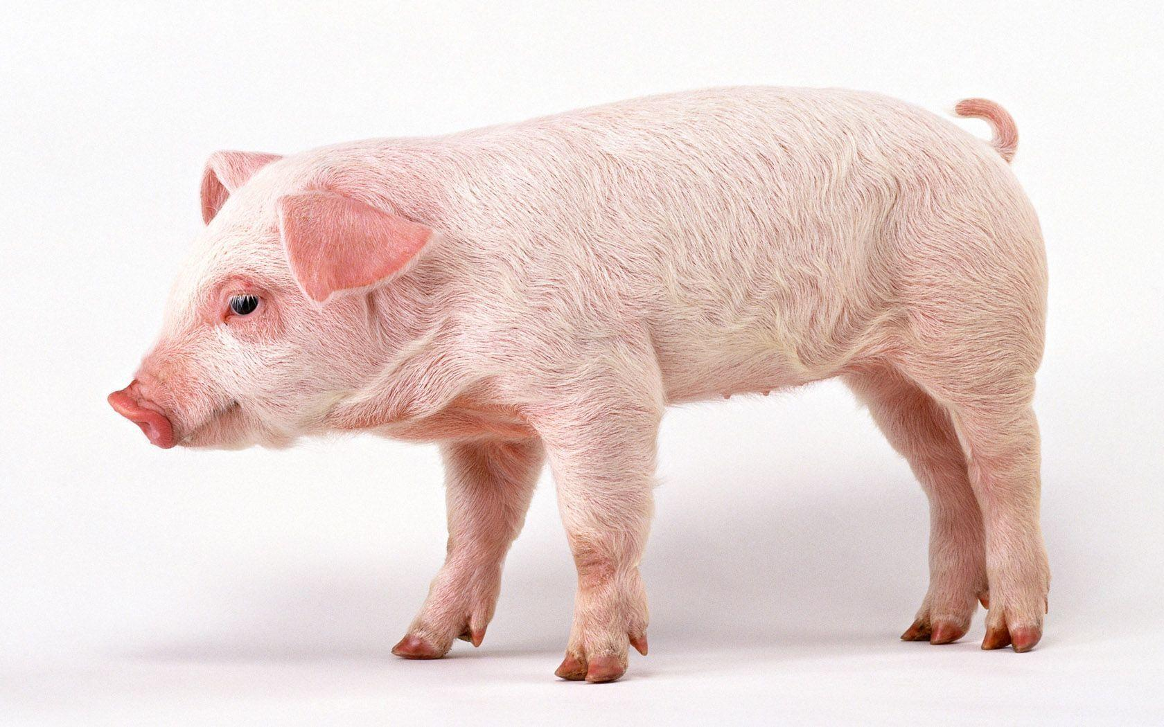 41 Pig HD Wallpapers | Backgrounds - Wallpaper Abyss