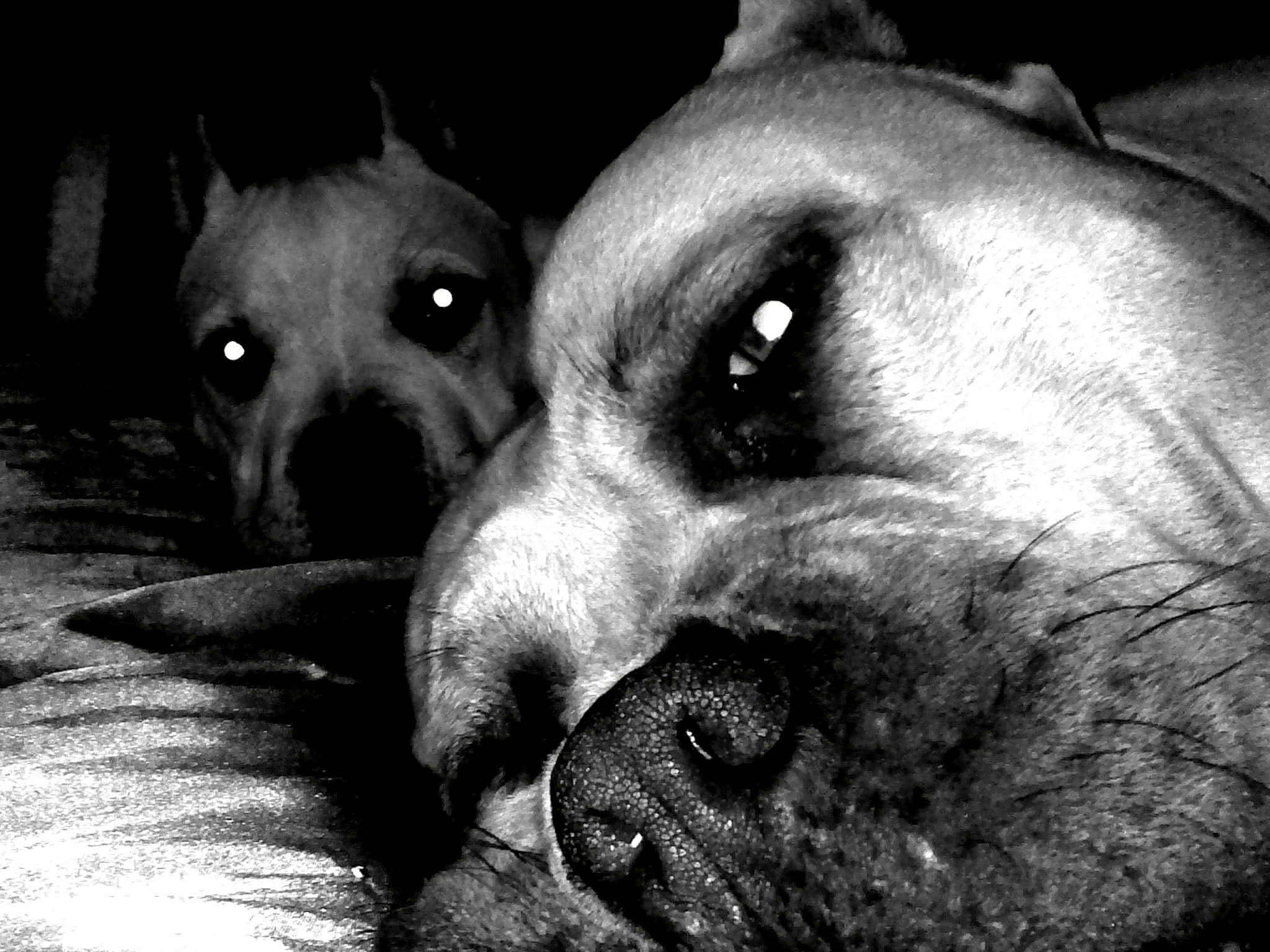 Pix For > Pit Bulls Wallpapers