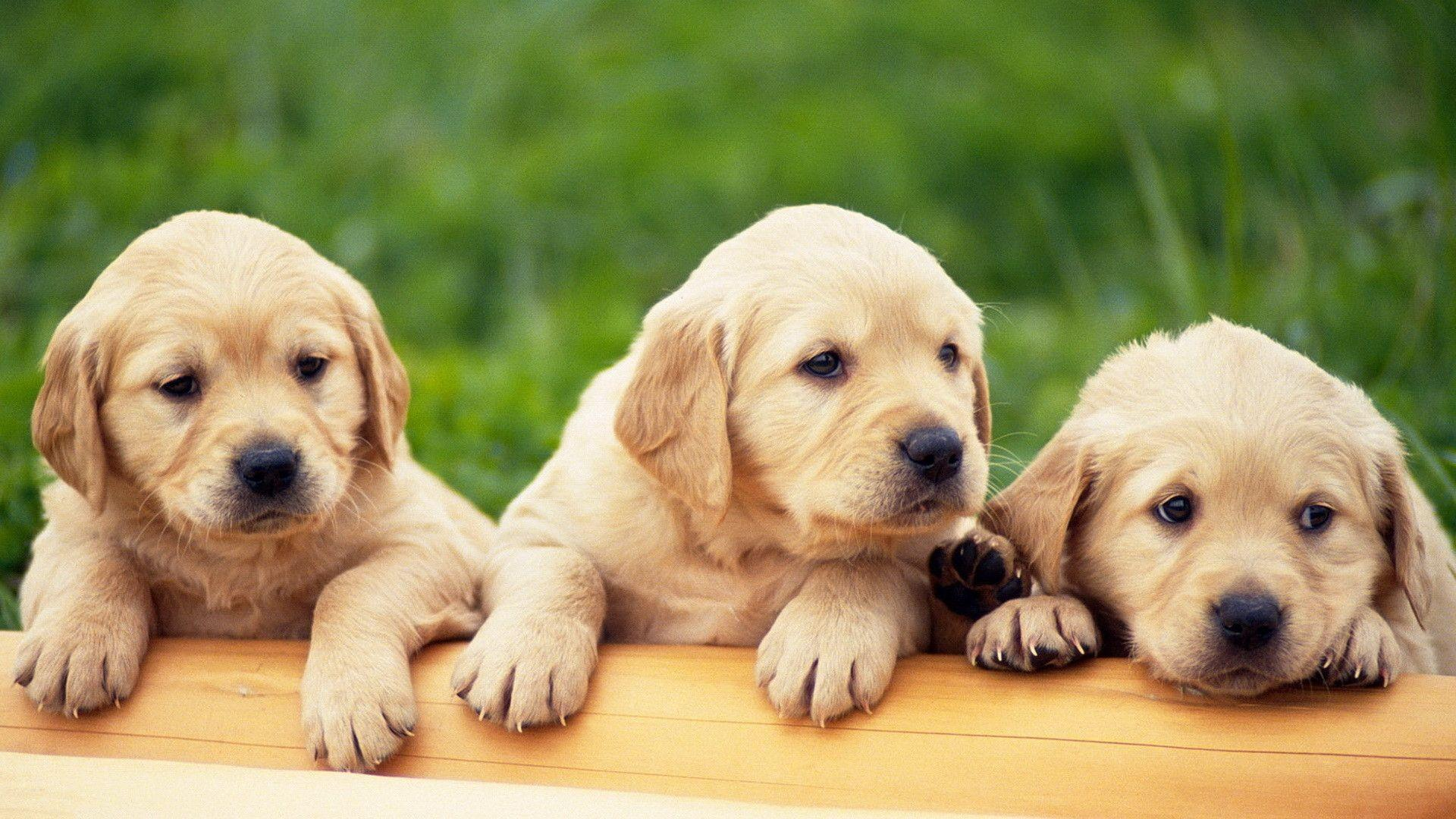 Puppies HD Wallpapers - HD Wallpapers Inn