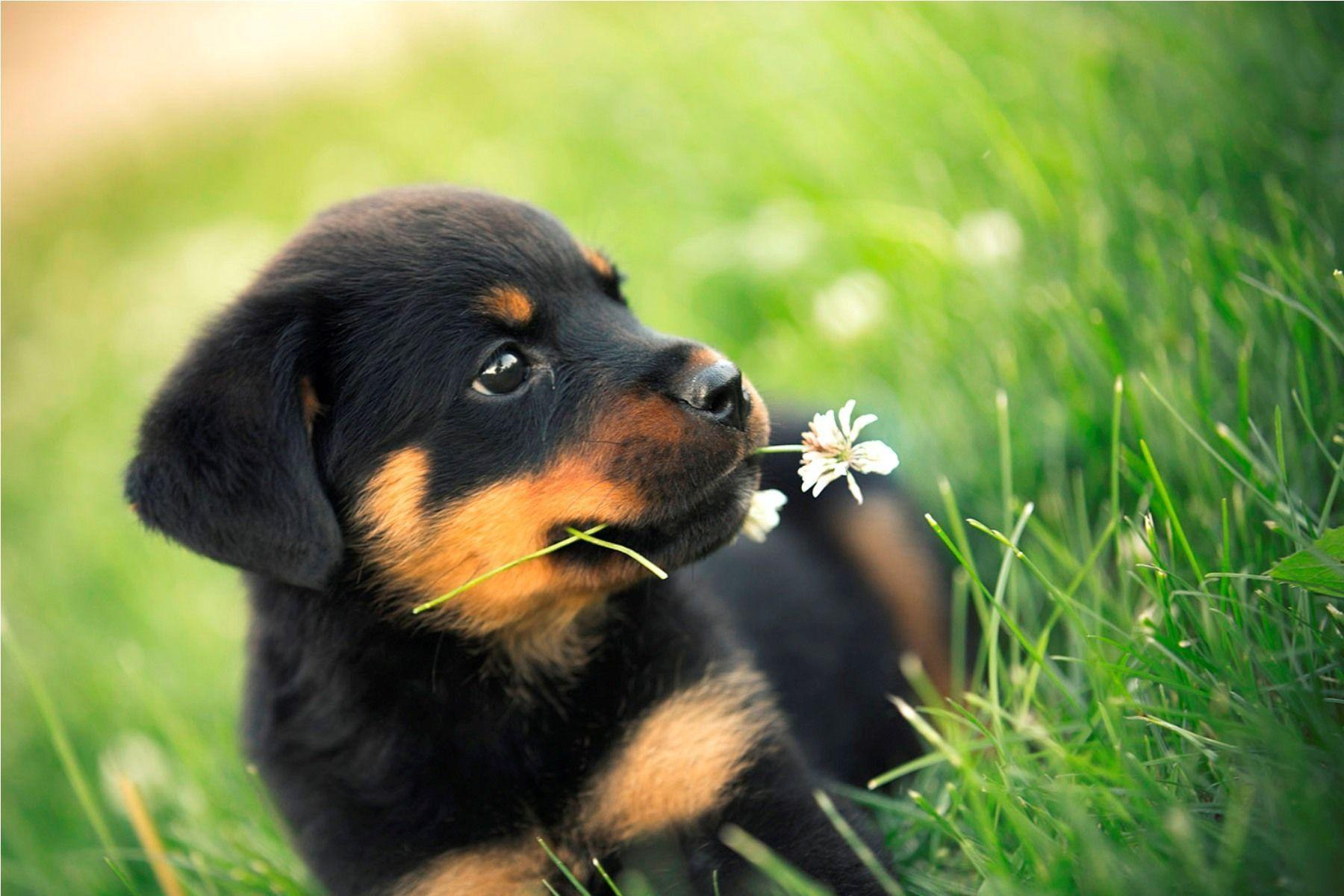Rottweiler Dogs HD Wallpapers