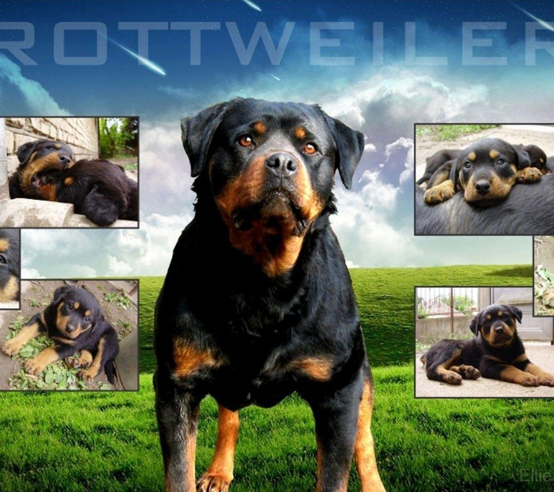 Cool Rottweiler Wallpaper Images & Pictures - Becuo