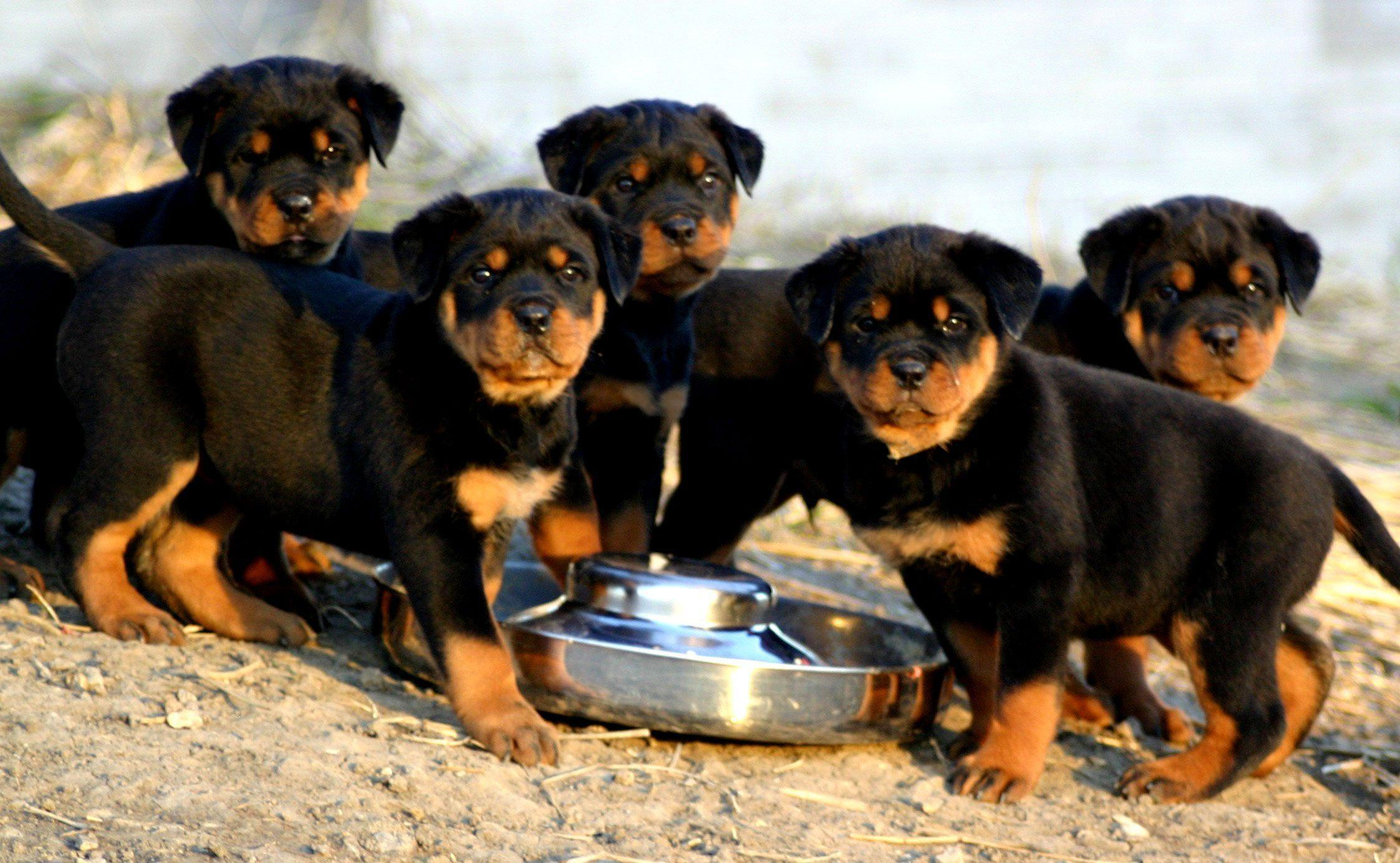Rottweiler Hd Backgrounds Wallpapers 36 HD Wallpapers