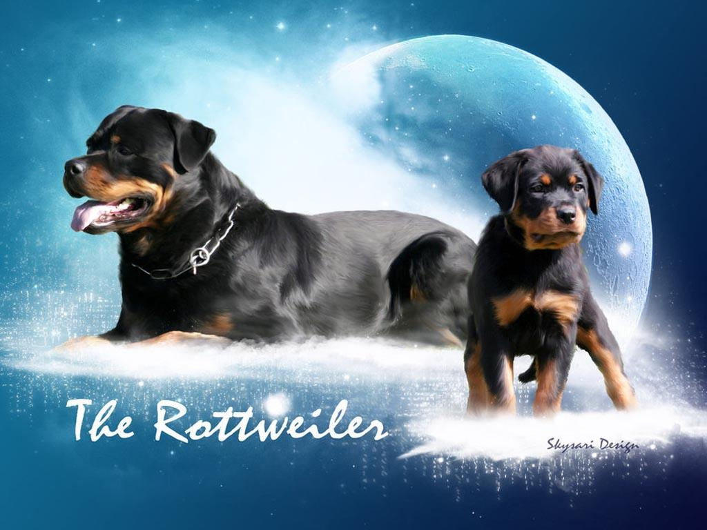 Images For > Angry Rottweiler Wallpaper