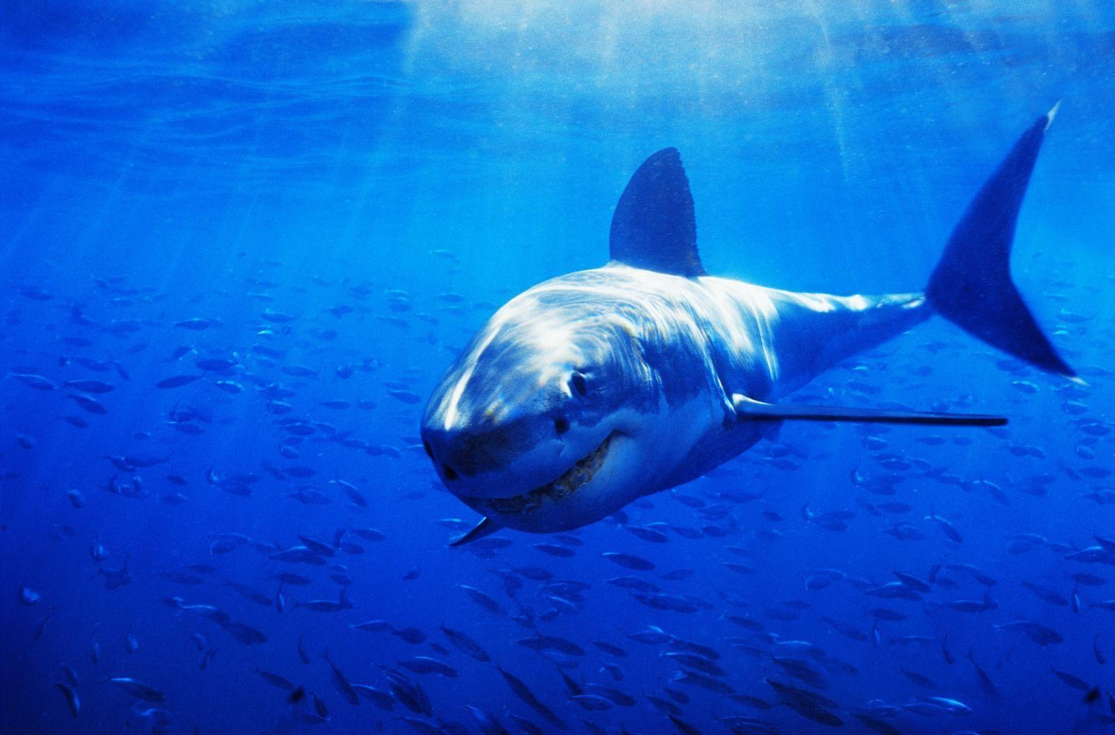 Sharks and Killer Whales (55 HD Wallpapers) | Stuff Kit