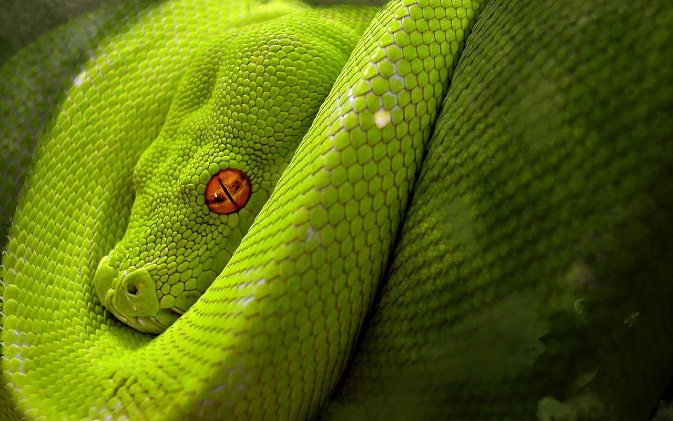 Astonishing Snake Desktop Wallpapers 1600x1200PX ~ Snake Wallpaper #