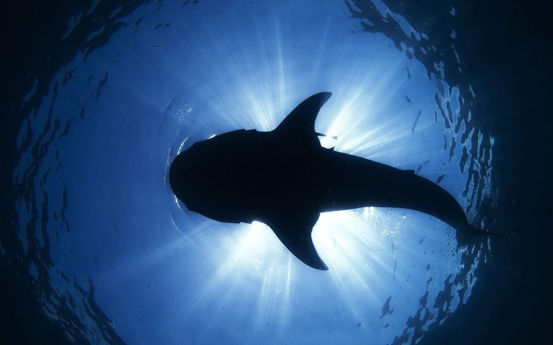 Shark hd Wallpapers | Pictures