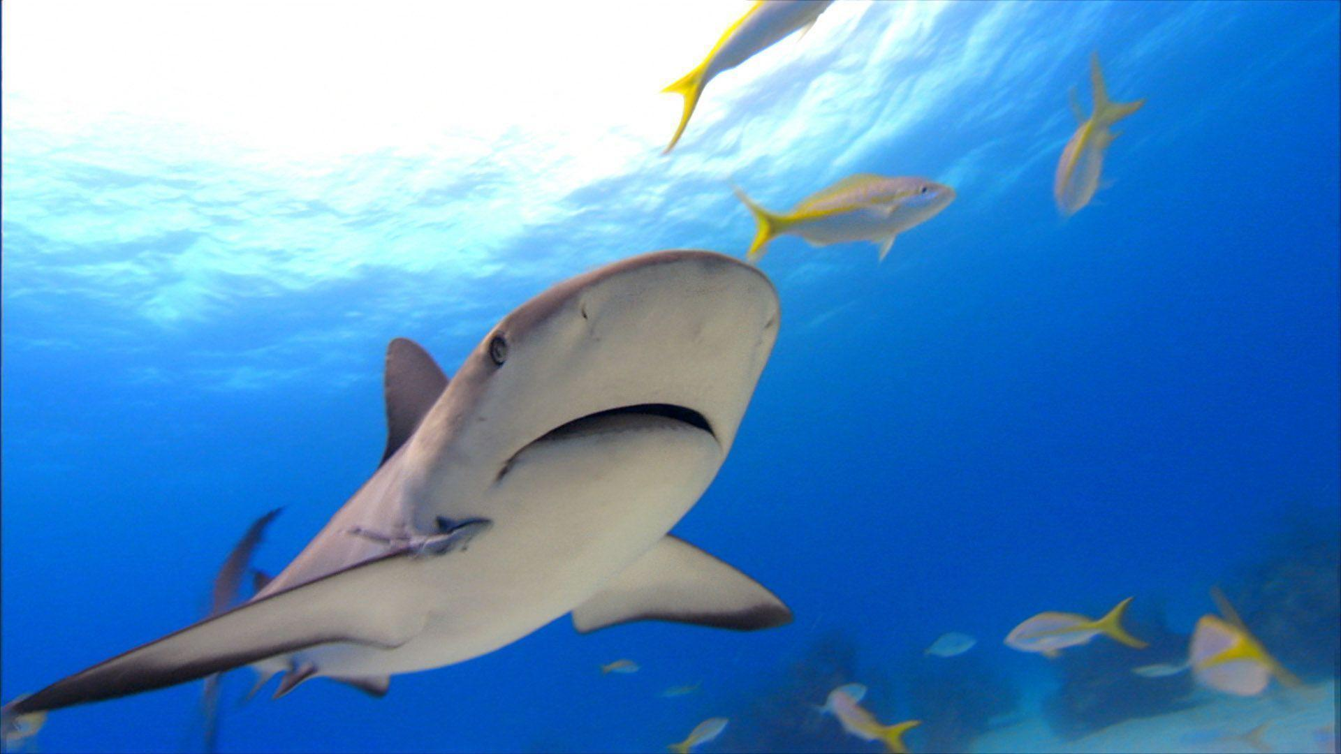 25 Beautiful Tiger Shark Pictures and Wallpapers