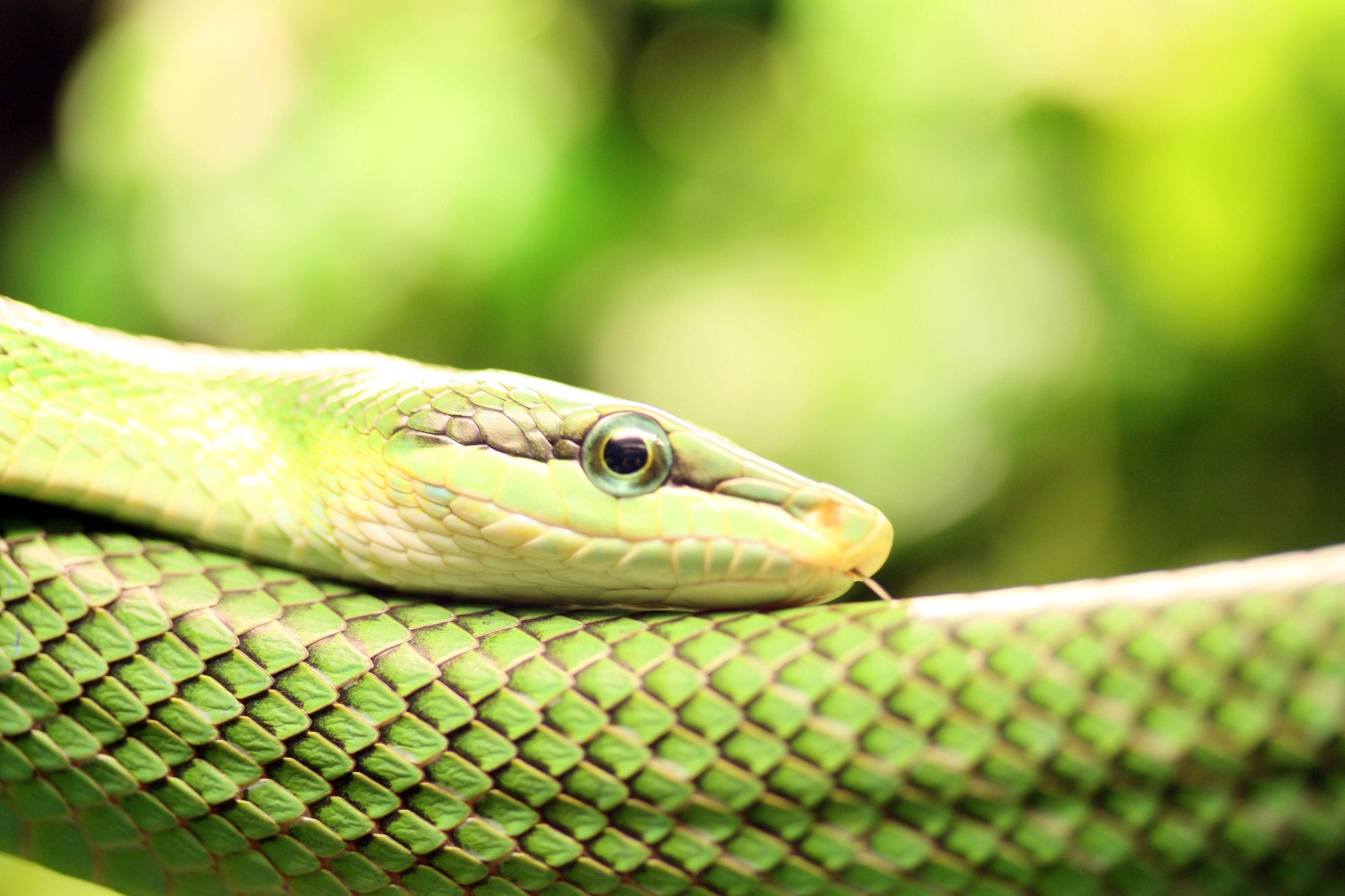2 Smooth Green Snake Wallpapers | Smooth Green Snake Backgrounds