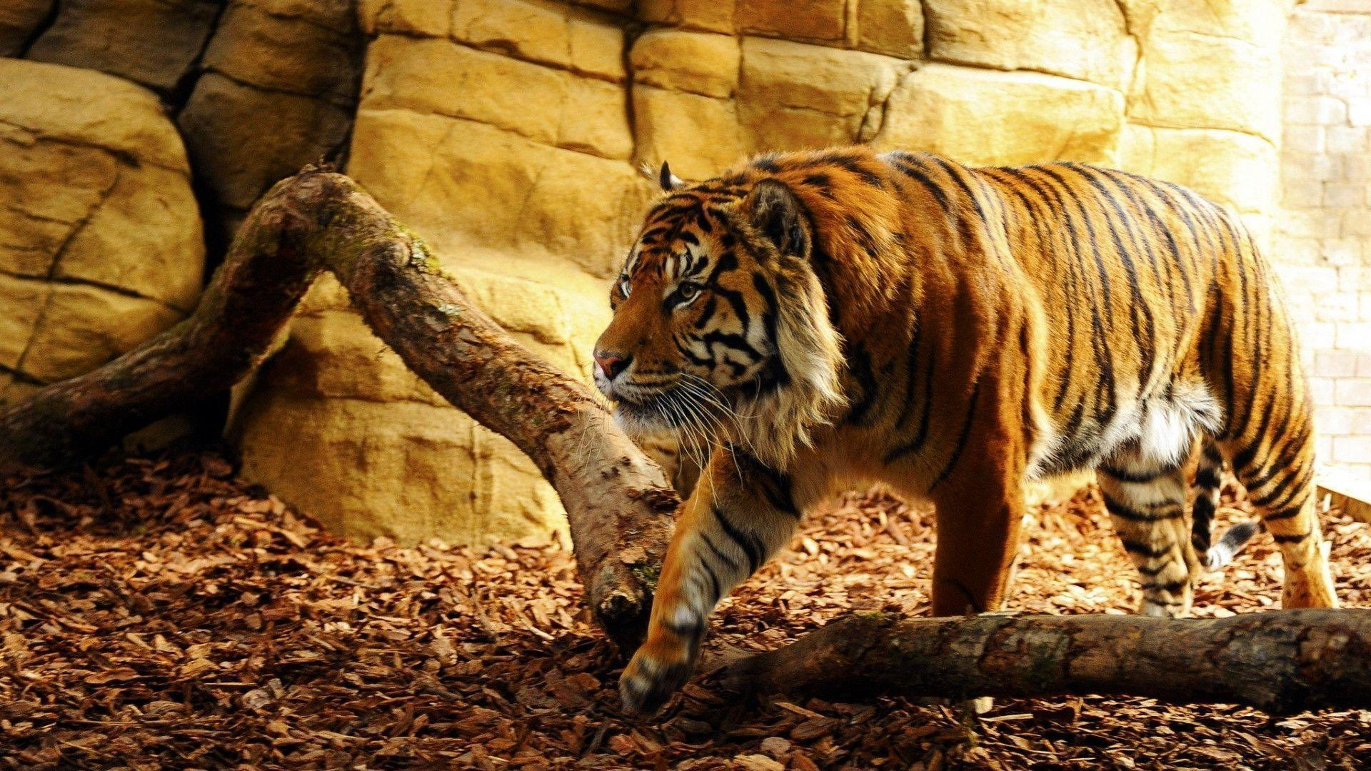 Tiger Wallpapers - HD Wallpapers Inn