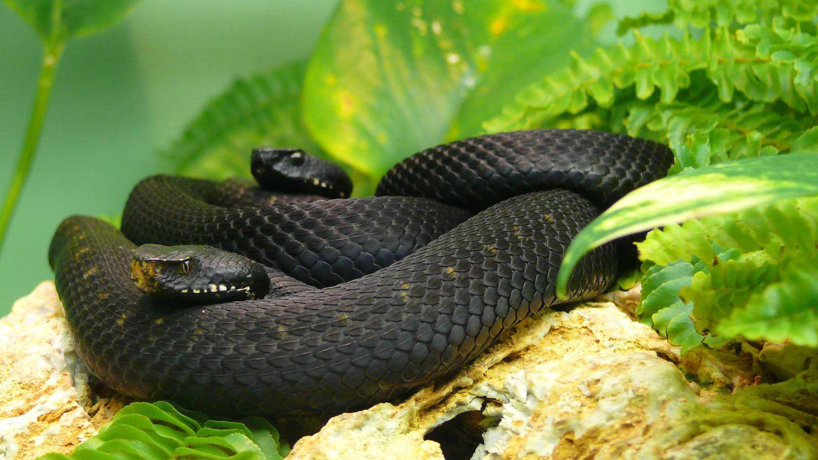Black Mamba Snake Wallpapers