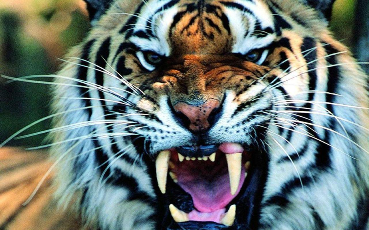 Tiger Wide Wallpapers #13411 Wallpaper | Cariwall.