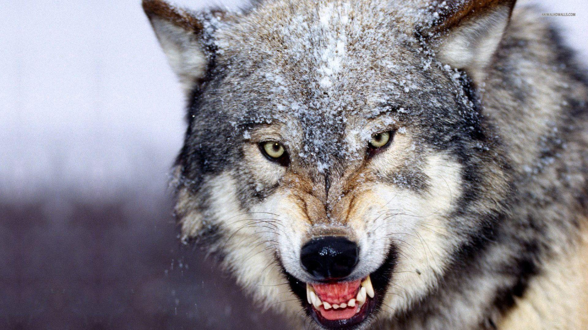 HD Wolf Desktop HD Wallpapers / Wallpaper Database