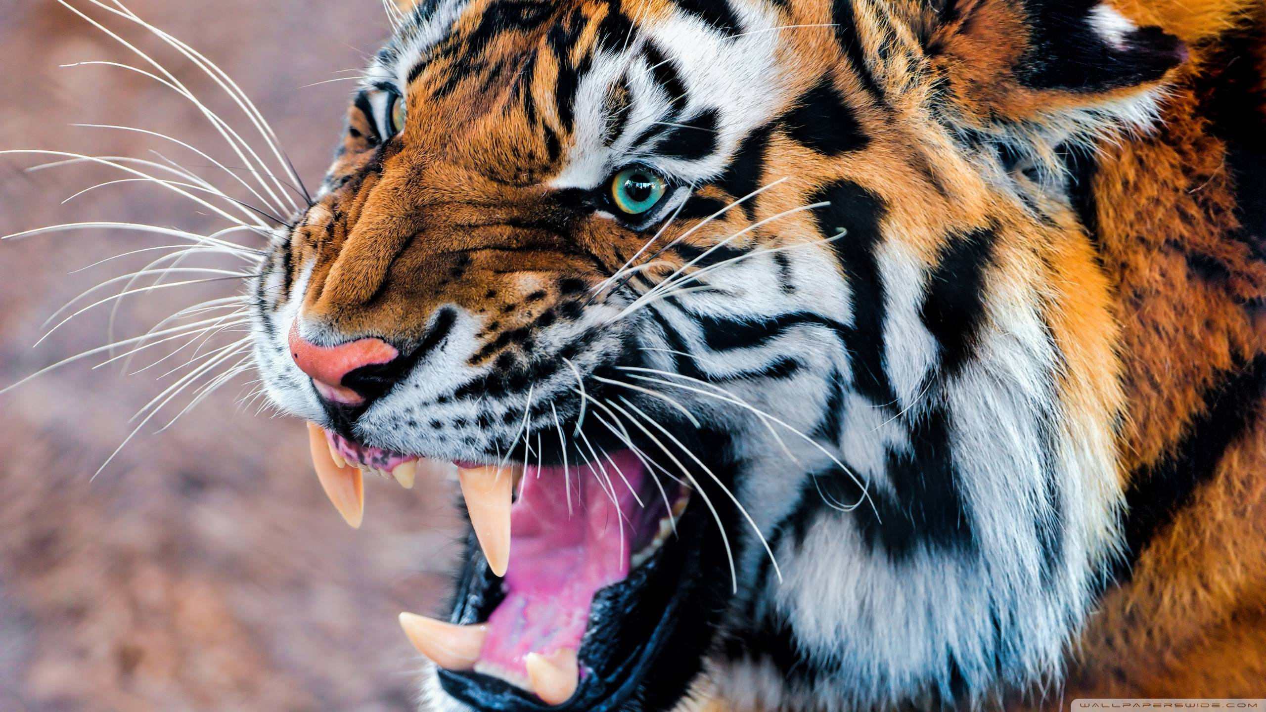 Wallpapers For > Angry Siberian Tiger Wallpapers
